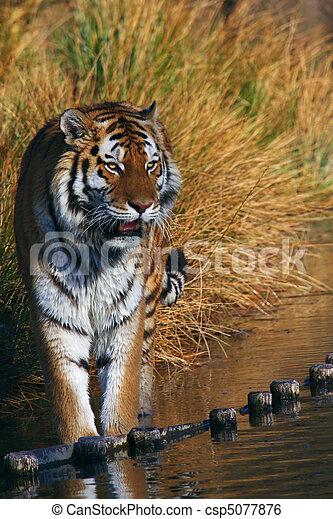 Retrato de un tigre siberiano - csp5077876