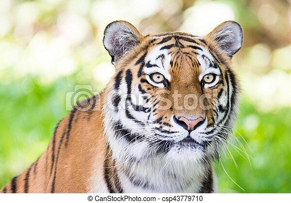 Retrato de un tigre siberiano - csp43779710