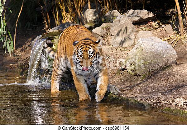Tigre siberiano - csp8981154