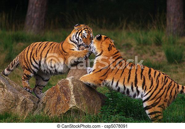 Dos jugando a los tigres siberianos - csp5078091