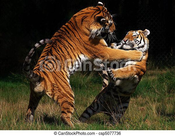 tigres, siberiano, pelea - csp5077736