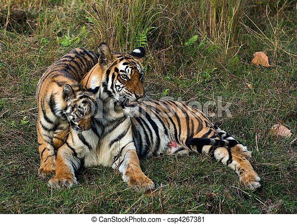 Tigress and cub. - csp4267381