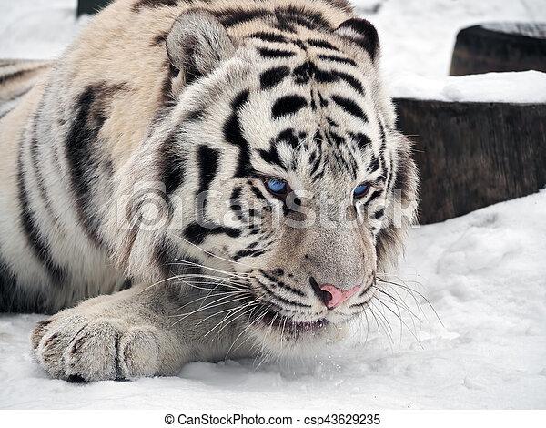 sne tiger