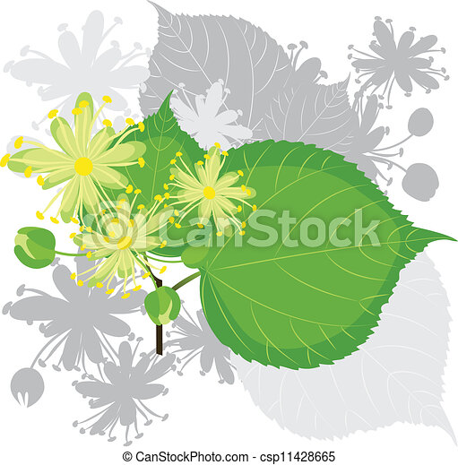 tilleul, fleurs, feuillage - csp11428665