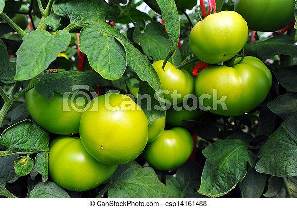 tillsluta, tomaten, frisk - csp14161488
