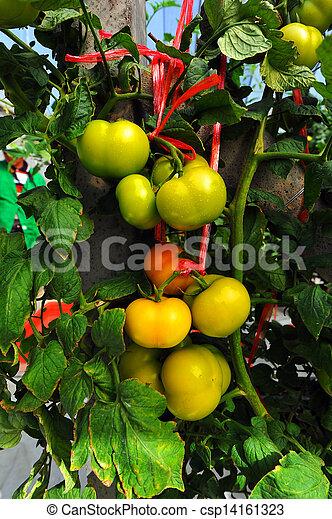 tillsluta, tomaten, frisk - csp14161323