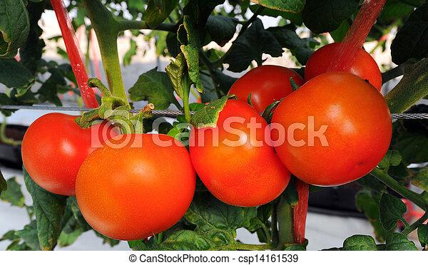 tillsluta, tomaten, frisk - csp14161539