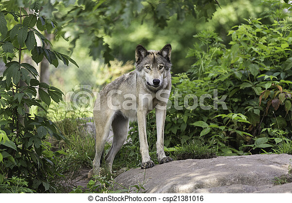 Timber wolf in forest - csp21381016