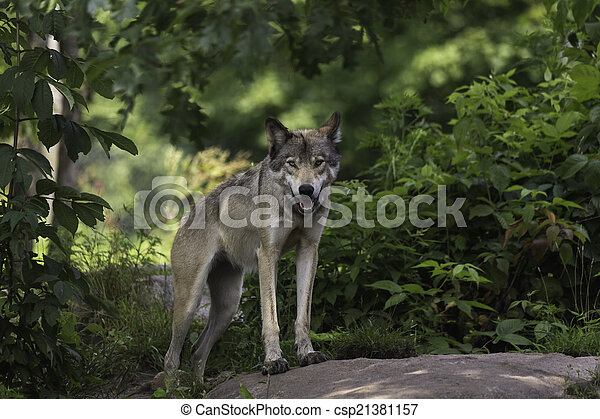 Timber wolf in forest - csp21381157