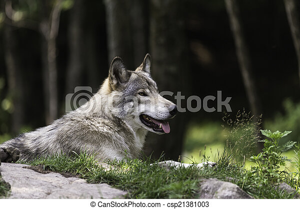 Timber wolf in forest - csp21381003