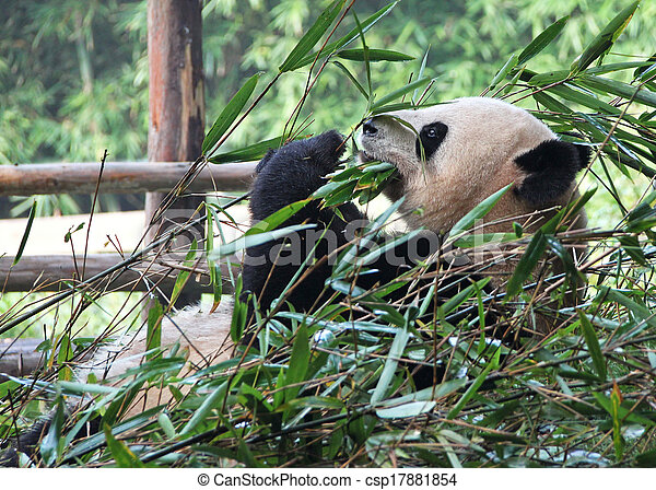 Time for lunch. Delicious bamboo for the giant panda. - csp17881854
