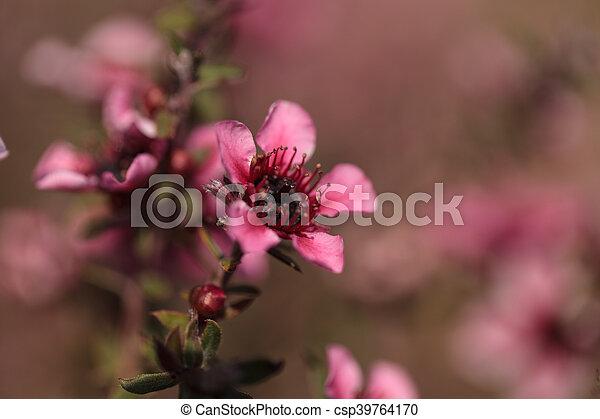 Tiny pink flowers on a leptospermum tea tree bush growing in a tiny pink flowers on a leptospermum csp39764170 mightylinksfo