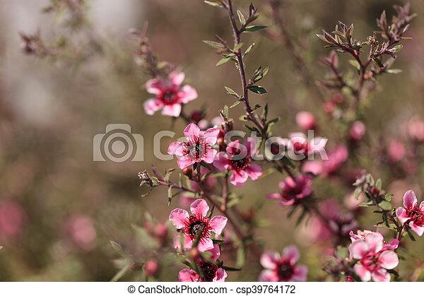 Tiny pink flowers on a leptospermum tea tree bush growing in a tiny pink flowers on a leptospermum csp39764172 mightylinksfo