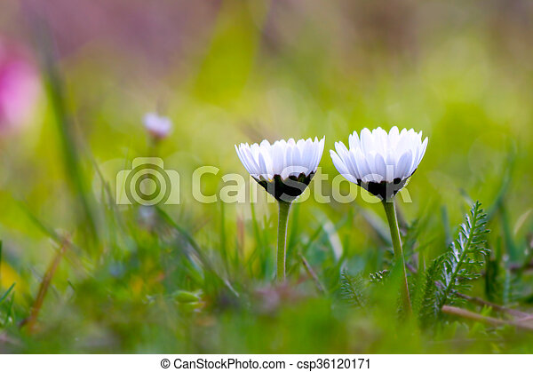 Tiny white spring flowers in the grass tiny white spring flowers csp36120171 mightylinksfo