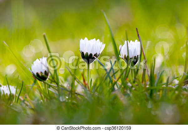 Tiny White Spring Flowers In The Grass