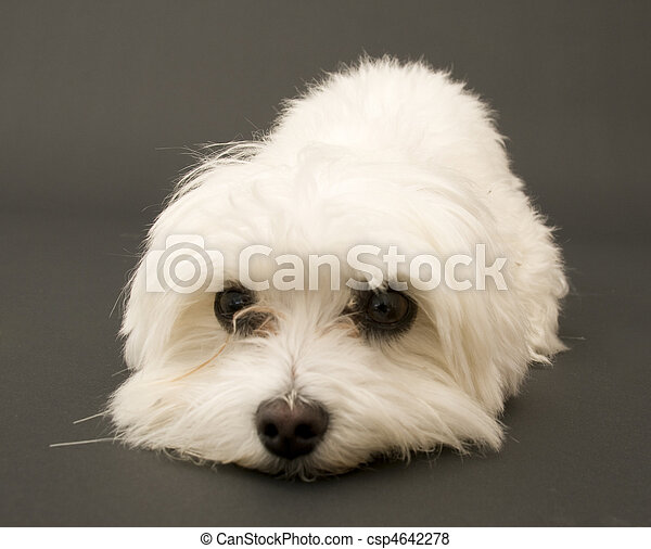 Tired Maltese - csp4642278