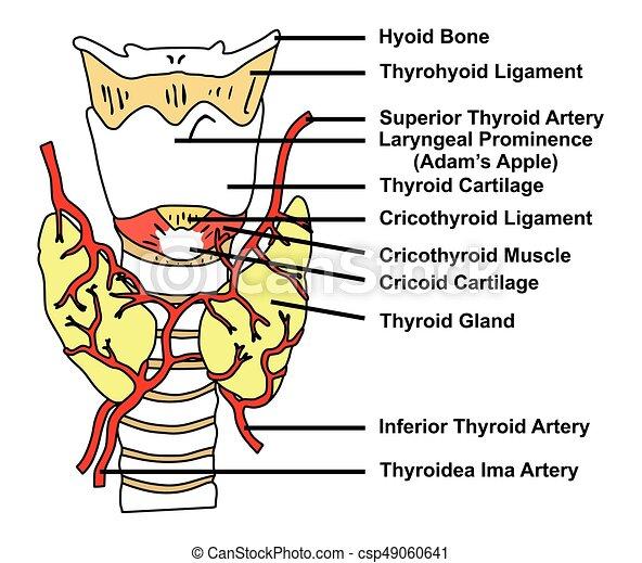 Tiroides, arterias, suministro, diagrama anatómico, glándula ...