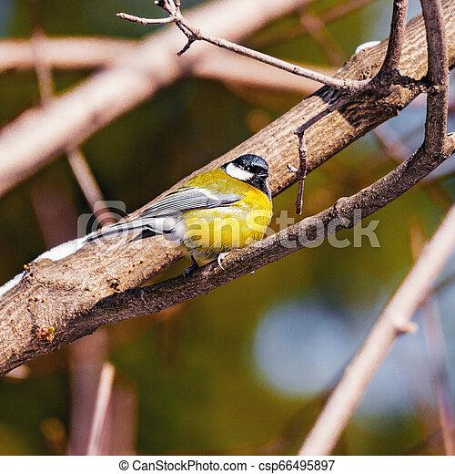 tit, branch., træ, fugl - csp66495897