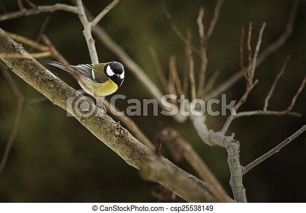 tit, great, træ, fugl, siddende - csp25538149