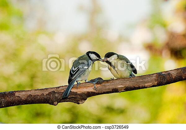 tit, groot, voedende vogels - csp3726549
