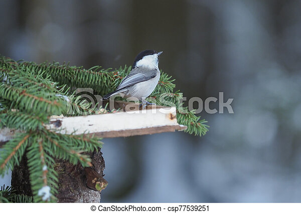 tit on a feeding trough in the forest - csp77539251
