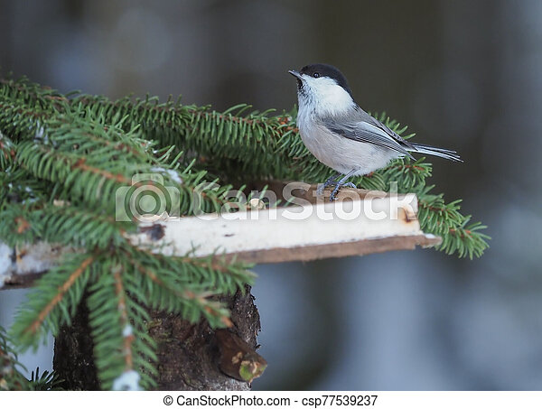 tit on a feeding trough in the forest - csp77539237
