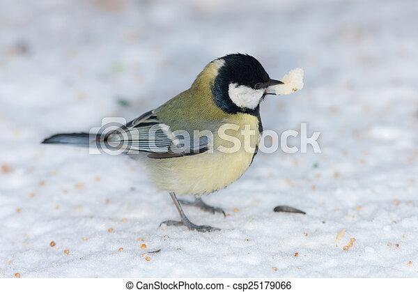 tit on snow close up - csp25179066