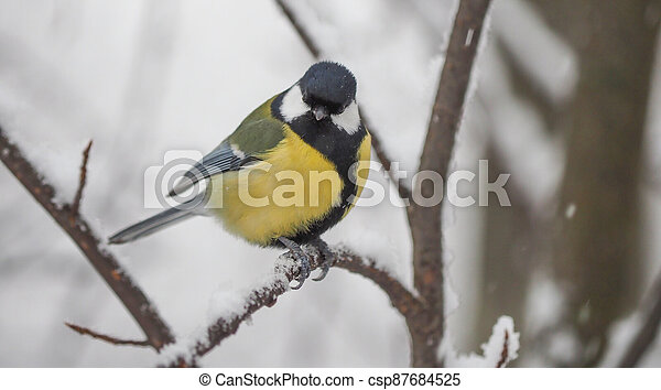 tit on the branch. winter - csp87684525