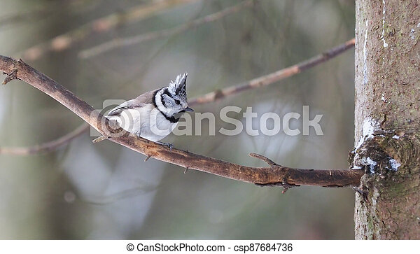 tit on the branch. winter - csp87684736