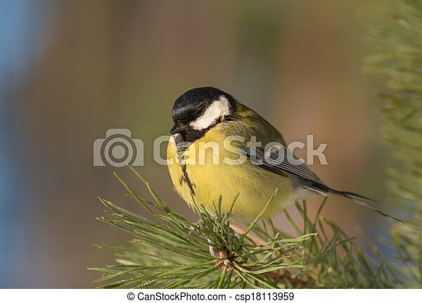 Tit - Parus major - csp18113959
