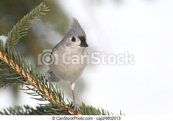 Titmouse en un árbol - csp24802013