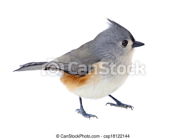 Titmouse tufted aislado - csp18122144