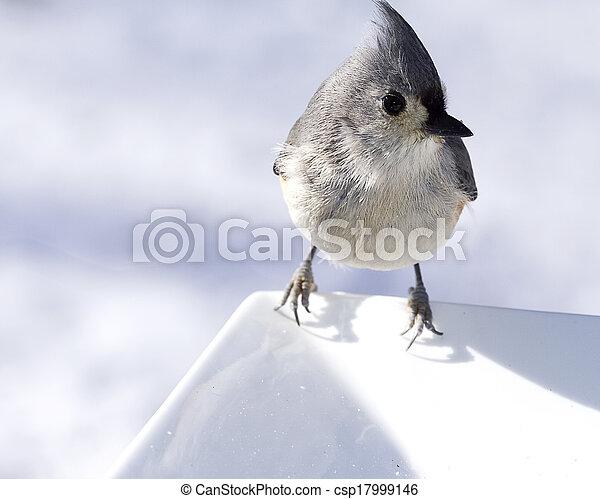 Titmouse comiendo alpiste - csp17999146
