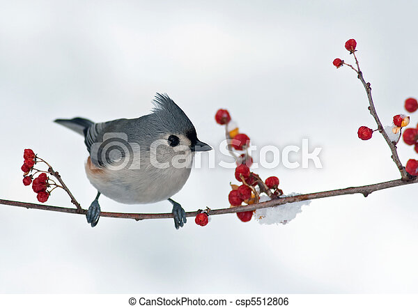 Tufted titmouse and berries - csp5512806