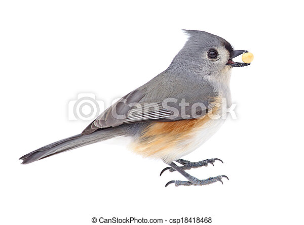 Tufted titmouse comiendo - csp18418468