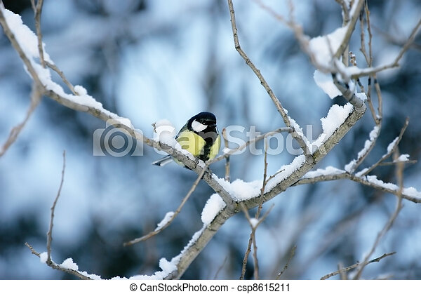 Titmouse on a snow covered branch on a blue background - csp8615211