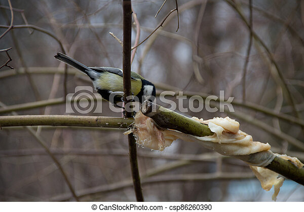 titmouse on a tree in winter on a branch - csp86260390