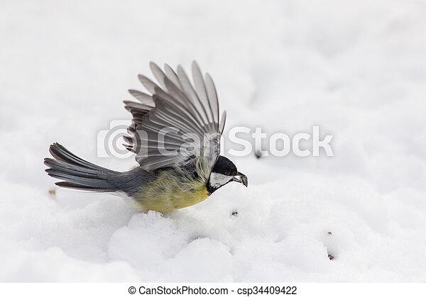 titmouse on snow - csp34409422