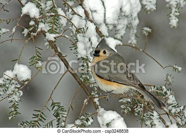Tutmouse en la tormenta de nieve de invierno - csp3248838