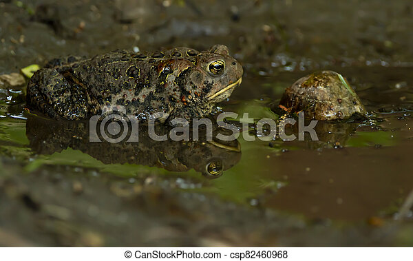 Toad and reflection in water - csp82460968