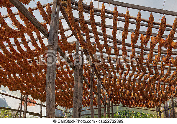 Tobacco leaves tied in rope - csp22732399