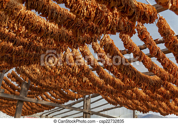 Tobacco leaves tied in rope - csp22732835