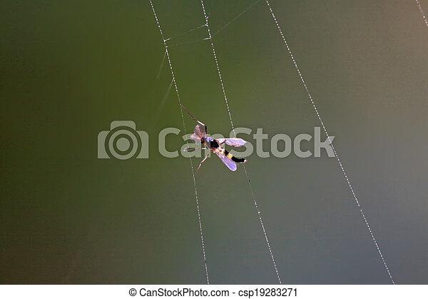 toile, moustiques, attrapé, araignés - csp19283271