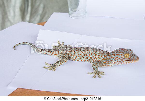 tokay gecko gekko gecko against white background
