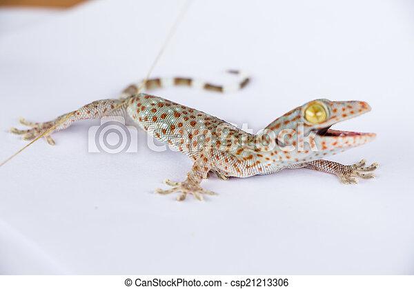 tokay gecko gekko gecko isolated on white background