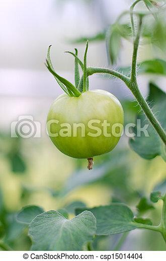 tomat, närbild, grön, filial, synhåll - csp15014404