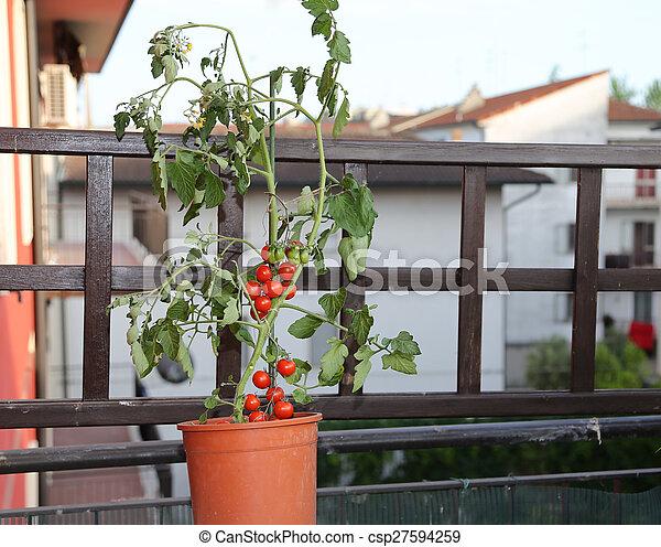 Planta De Tomate En La Terraza De Una Casa En La Ciudad