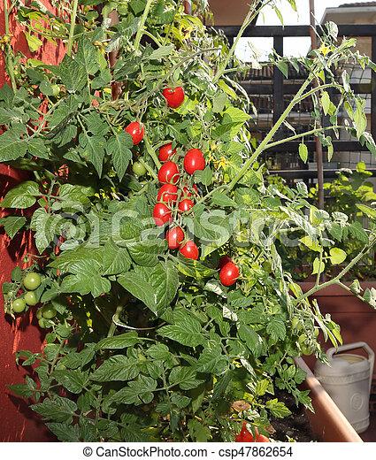 Tomate Urbano Cultivo Jardín Floreros
