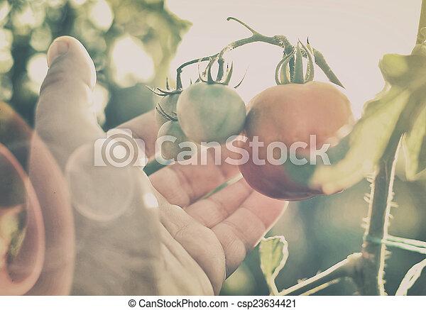 Tomato branch - csp23634421