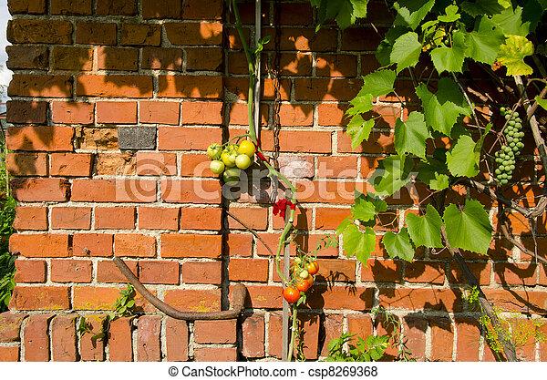 Tomato Climbing Red Brick Wall Rural Home Garden